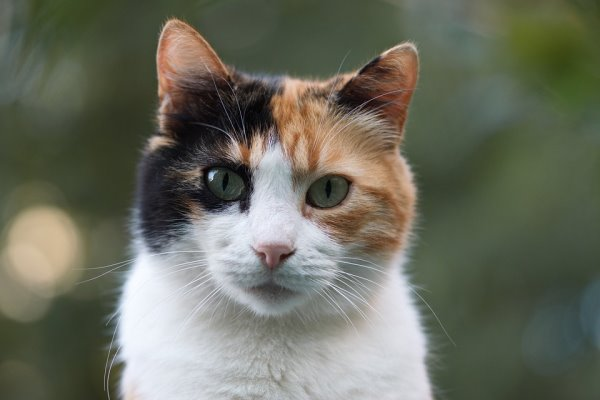 gatto calico